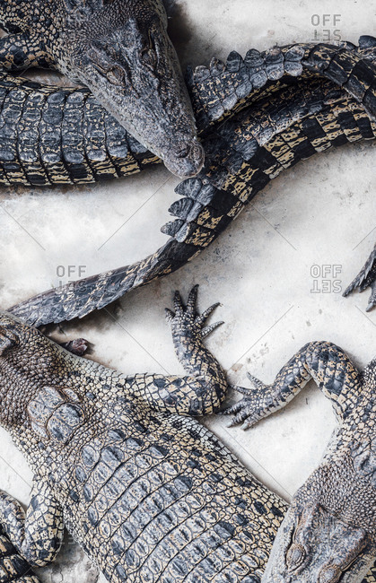 Malaysia- High angle view of crocodiles resting on stone surface