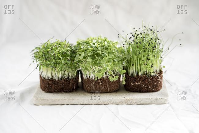 Studio shot of fresh arugula and onion microgreens