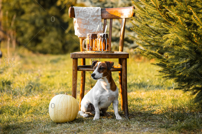 Dog and two pumpkin latte cups on chair at outdoor