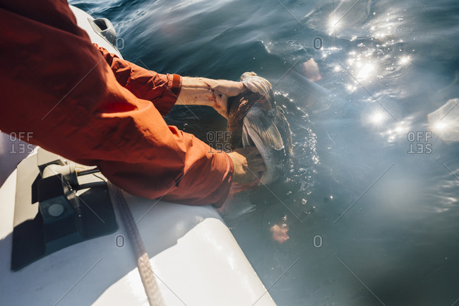 High angle close up of fisherman pulling fish out of ocean.