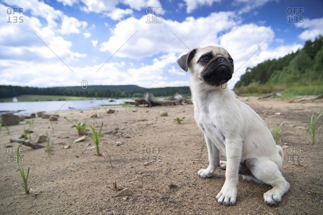 Young pug sits on the bank of a lake