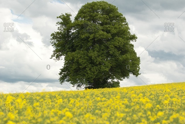 Lonely tree in a rape field