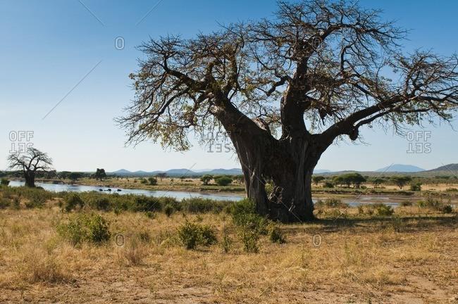 Baobab tree in Ruaha National Park, Iringa region, central Tanzania, Africa