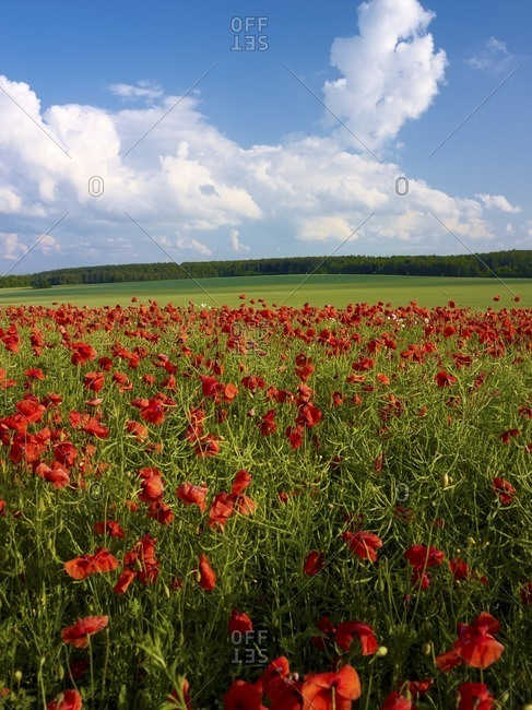 Poppies in the rapeseed field, at waxedt, Eichsfeld, Thuringia, Germany