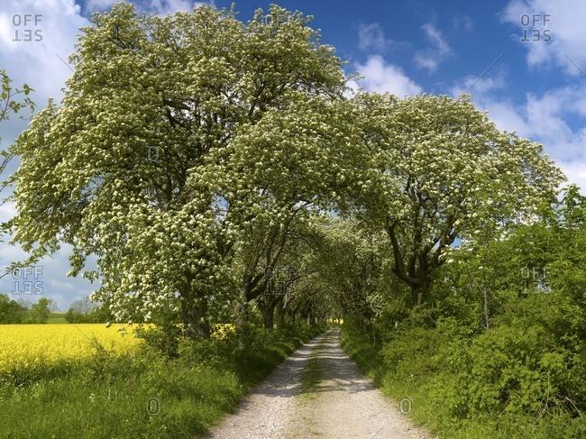 Flourishing Swedish avenue of flourishing flourberry trees from 1910 near Kefferhausen, Eichsfeld, Thuringia