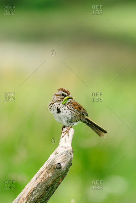 A field sparrow perched on a branch