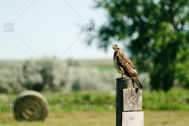 A hawk perched on a post at the Bowdoin National Wildlife Refuge in Montana