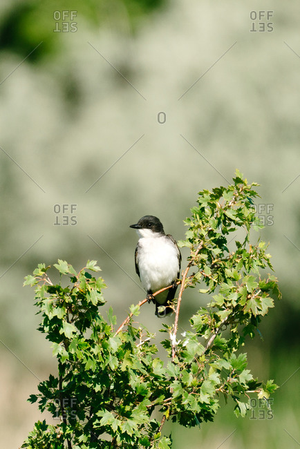 An eastern kingbird perched on a branch at the Bowdoin National Wildlife Refuge in Montana