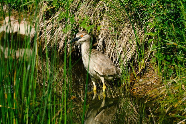 A black-crowned night-heron at Bowdoin National Wildlife Refuge in Montana
