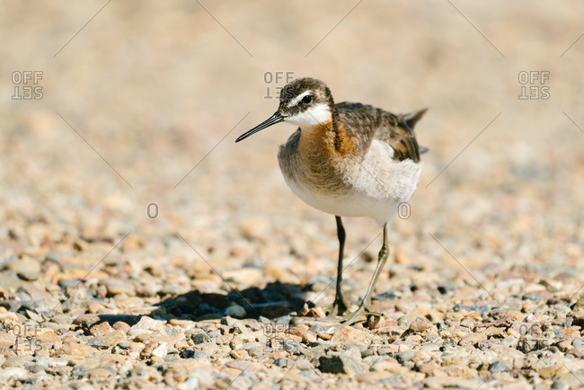Wilson's phalarope bird walking on rocks