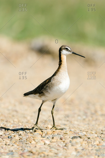 Portrait of a Wilson's phalarope bird on rocky ground