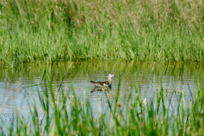Wilson's phalarope bird swimming in a pond