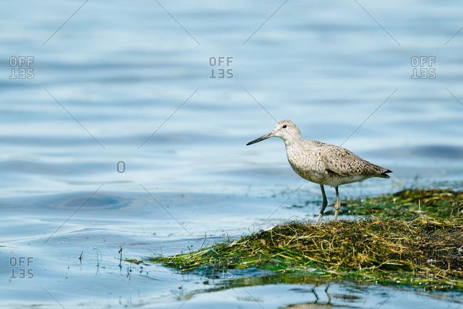Long-billed dowitcher standing on edge of water