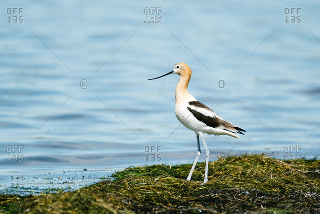 American avocet standing on edge of water