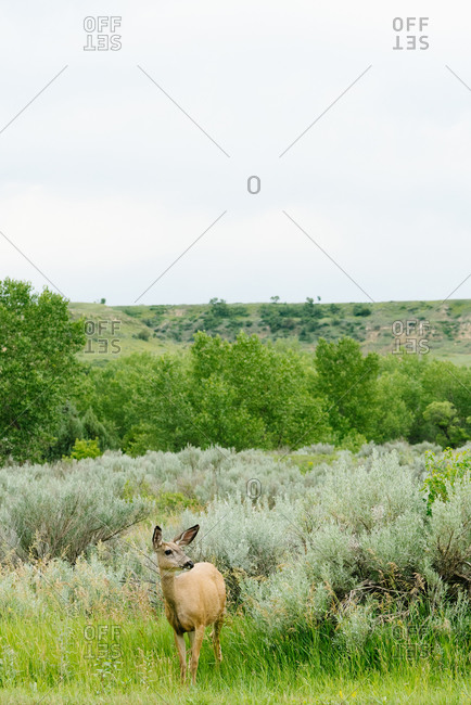 A mule deer standing alone in a field