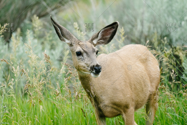 Close up of a female mule deer standing alone in a field