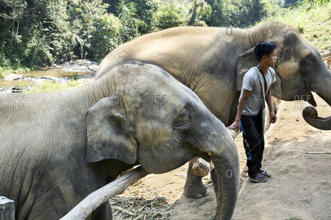 January 25, 2019: Northern Thailand; January 25, 2019; Boy staying between two elephants in an elephant farm in Northern Thailand. This Elephant Farm is a health-recovery and reproduction-management farm for elephants. The population is decreasing due to environmental threats and the elephant trade.In the 1800s, back when Thailand was Siam, it still contained around 100,000 elephants. Since then, the number has been declining.