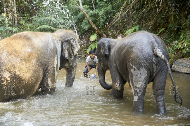 January 25, 2019: Northern Thailand; January 25, 2019; Boy washing two elepphants in a river as a part of his everyday care of the animals, which are protected in Thailand.