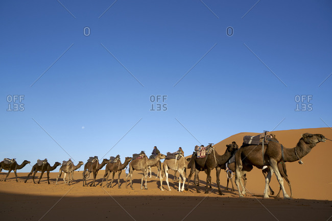 November 6, 2017: Erg Chebbi  Dunes, Merzouga, Saharan Morocco; 05 November 2017; A Berber male guide in traditional dress leading tourists on camels among Erg Chebbi Dunes in Saharan Morocco.The dunes are one of Morocco's best Sahara Desert destinations. Erg Chebbi special feature is its beautiful unique orange colored sand. Erg Chebbi dunes are bean shaped and cover an area 30km long and around 5-10km wide. This is a region on nomad Berbers.