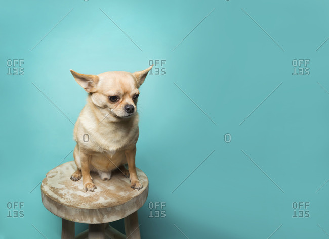 Tan chihuahua sitting on wood stool against aqua blue background