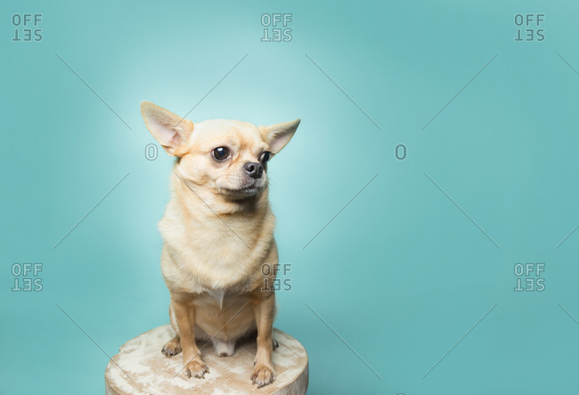 Tan chihuahua sitting on stool on aqua background, clean modern