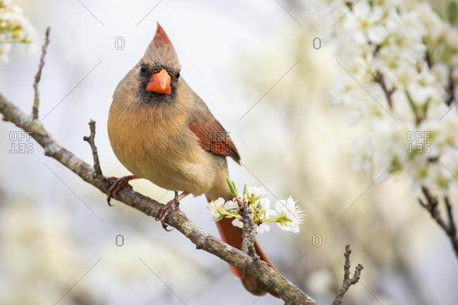 A Female Northern Cardinal Perched in a Plum Tree