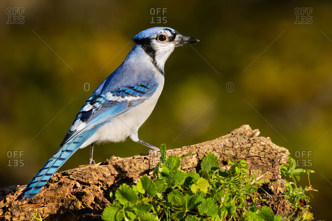 A Blue Jay Perched on a Log