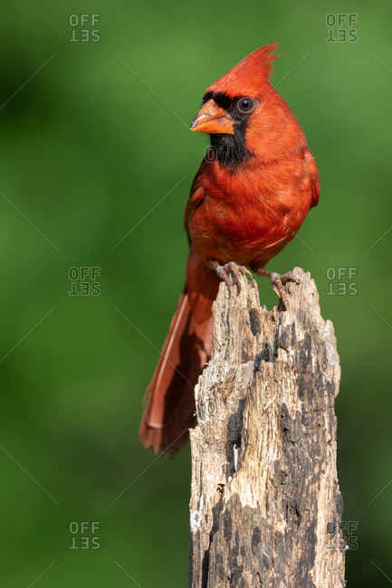 A Northern Cardinal Perched in the Summer Sun