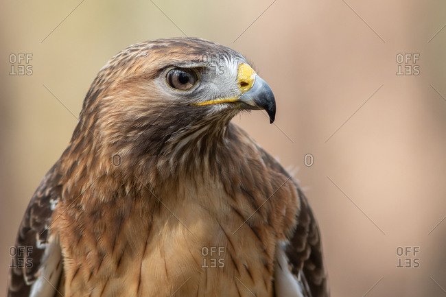 A Portrait of a Red-tailed Hawk