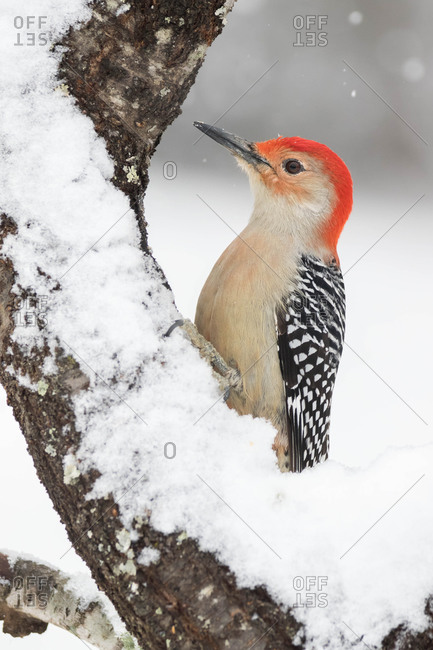 A Red-bellied Woodpecker Latched to Tree During a Winter Snow Fall