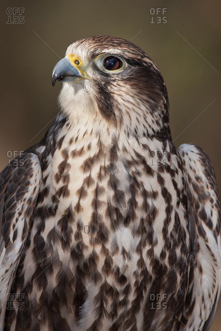 A Portrait of a Sakar Falcon