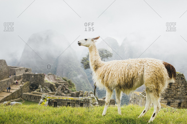 White llama is standing near Machu Picchu in Peru