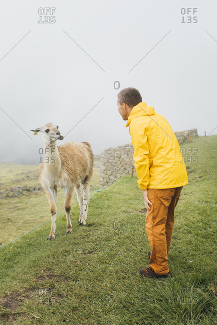 A man in a yellow jacket is standing near a llama,  Machu Picchu, Peru