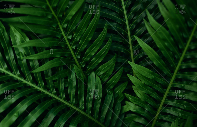 Background of the dark green leaves