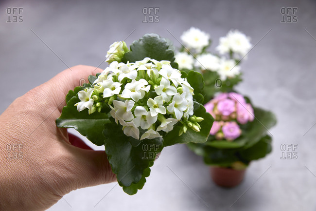 Small pots with bouquets of white and pink flowers. Concept of love.
