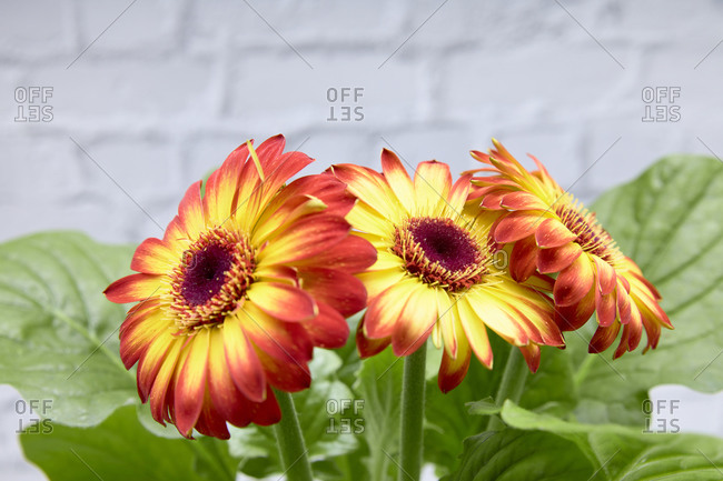 Red and yellow flowers. Concept of love.