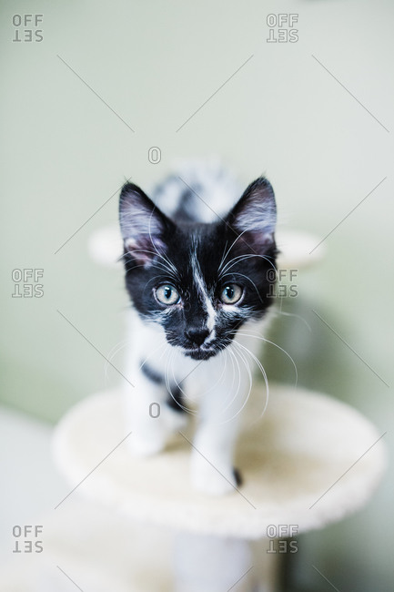 Black and White Kitten with Striking Markings
