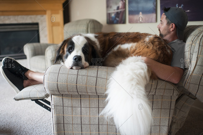 Large Saint Bernard dog sits on mans lap in a chair at home
