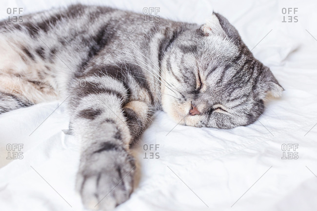A gray Scottish fold cat sleeps on a bed in a sheet.