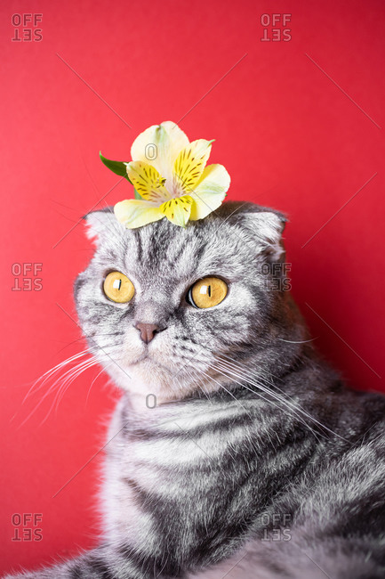Funny gray Scottish fold cat with yellow eyes on a red background.