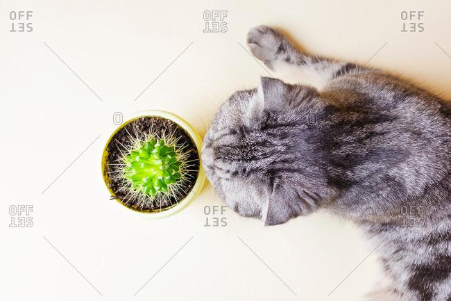 Funny gray Scottish fold cat