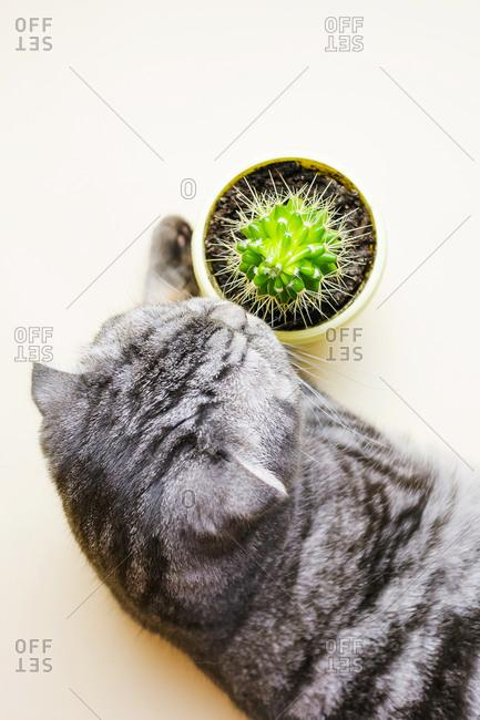 Funny gray Scottish fold cat and cactus