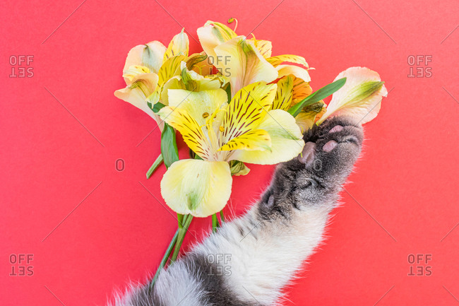 Yellow alstroemeria flowers and gray black striped cat paw