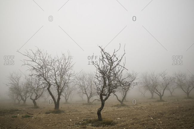 Fruit trees between the fog, Zaragoza province in Spain.