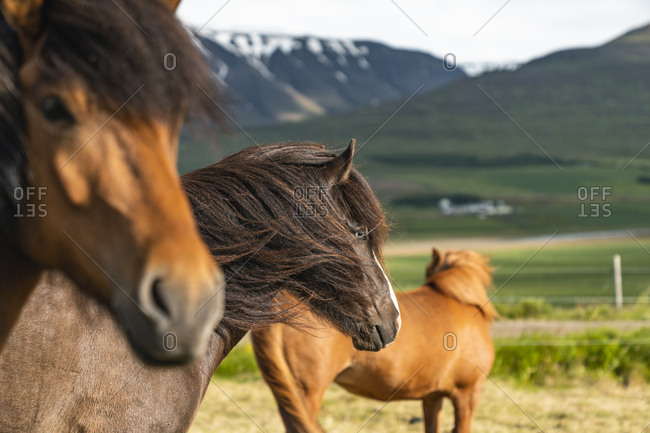 Icelandic Horses In Rural Iceland Northeastern Region
