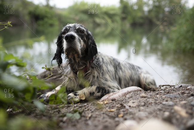 English Setter dog lying after a bath in the river during a vacation.