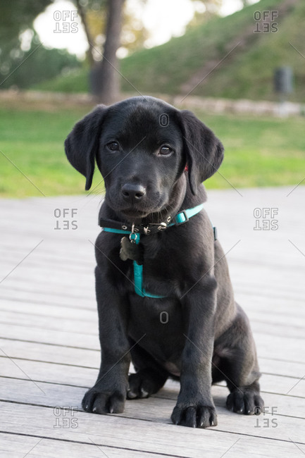 Adorable labrador puppy sitting looking at camera