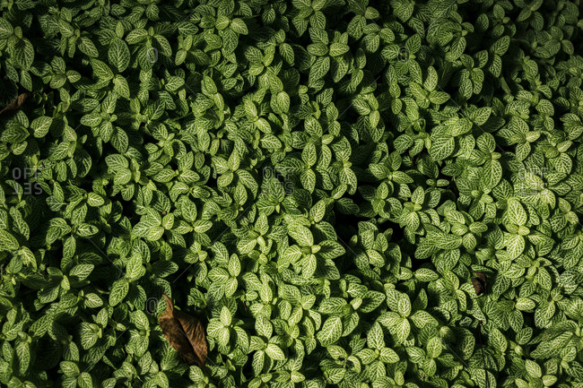 Green Foliage Background. Plants densely grown.