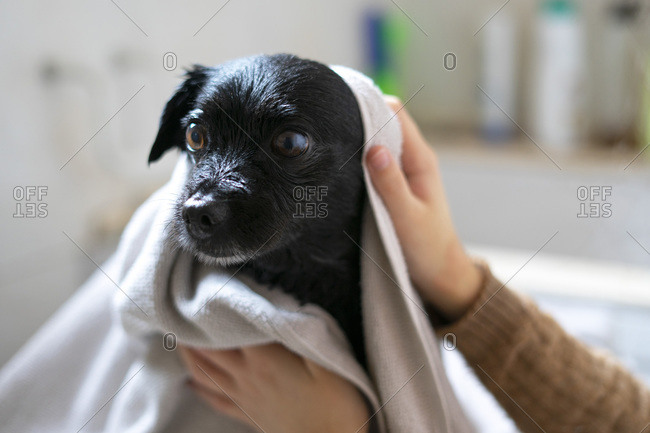Woman drying a black dog with a towel.