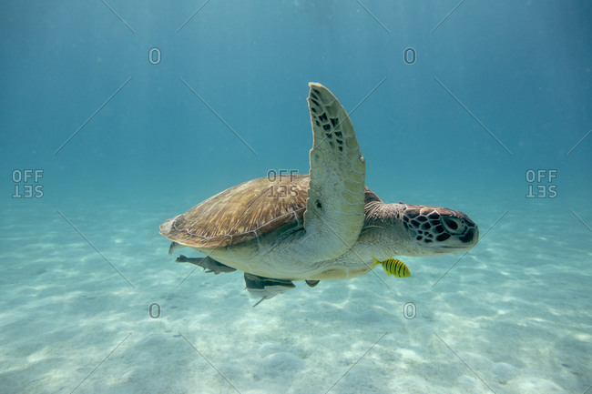 Sea turtle in the tropical seas